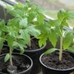 Как вырастить в домашних условиях помидоры?