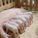 Что нам стоит сарай для свиней построить?